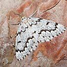 False Hemlock Looper Moth IMG_3605 by DigitallyStill
