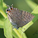 Striped Hairstreak Butterfly IMG_2407 by DigitallyStill