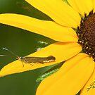 Metallic Casebearer Moth IMG_1278 by DigitallyStill