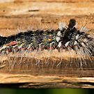 Tussock Moth Caterpillar by DigitallyStill