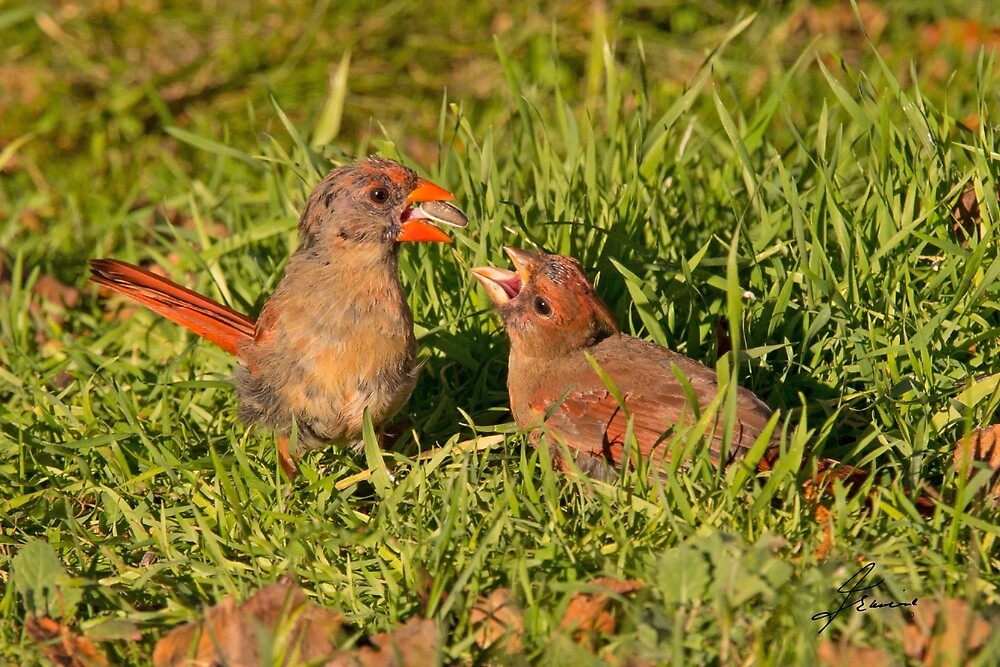 Female Cardinal and Late Brood Male by DigitallyStill