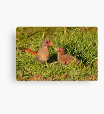 Female Cardinal and Late Brood Male Canvas Print