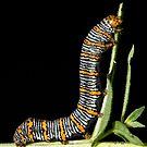 Beautiful Wood Nymph Moth Caterpillar by DigitallyStill