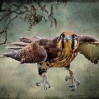 Falcon! by carol brandt
