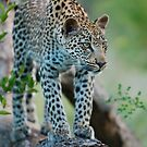Leopard by KylieForster