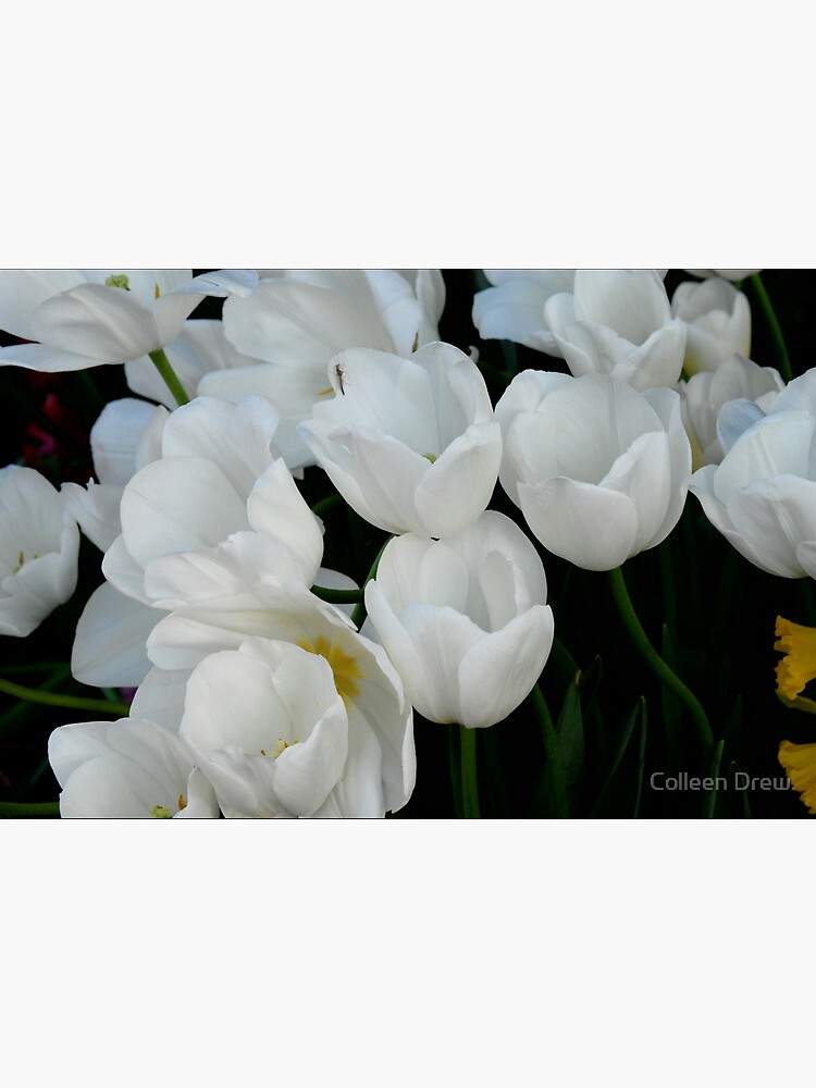White Tulips by colgdrew