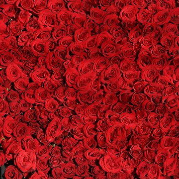 Red Rose Passion Love by FrancisDigital