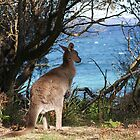 Kangaroo by Jervis Bay by Steven Guy