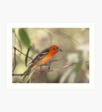 Flame-colored Tanager Art Print