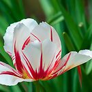 Rembrandt Tulip by Imagery