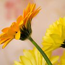 Orange and yellow by Steve plowman