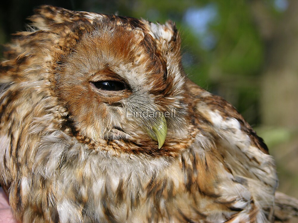 Tawny Owl  by Lindamell