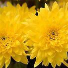 Mellow yellow by Steve plowman