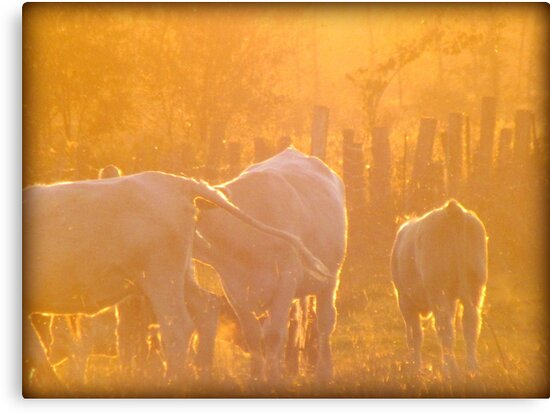 Sunset Cows by francelal