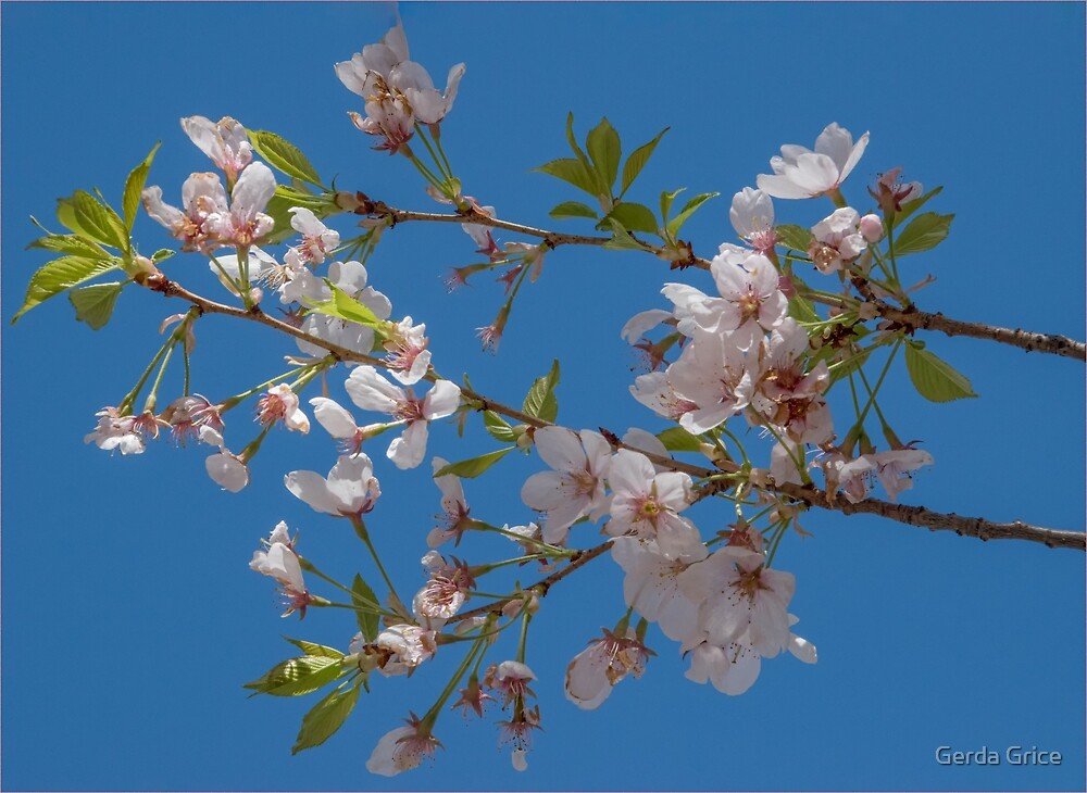 Cherry Blossoms Blowing in a Light Breeze by Gerda Grice