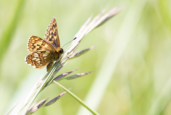 Duke of Burgundy  by Lauren Tucker