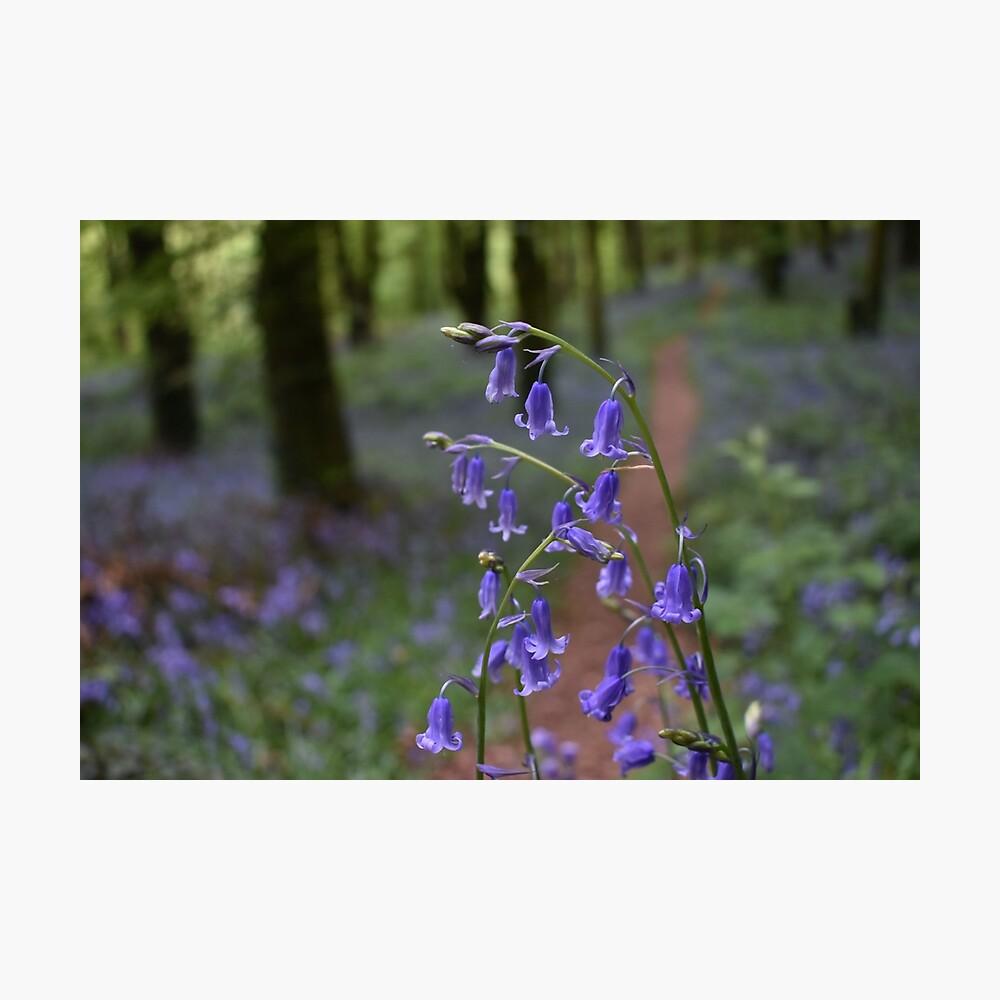 Bluebells of Knockbarren Wood Photographic Print