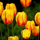Striped Tulips by Ryan Houston