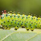 Hyalophora Cecropia Moth Caterpillar  by DigitallyStill