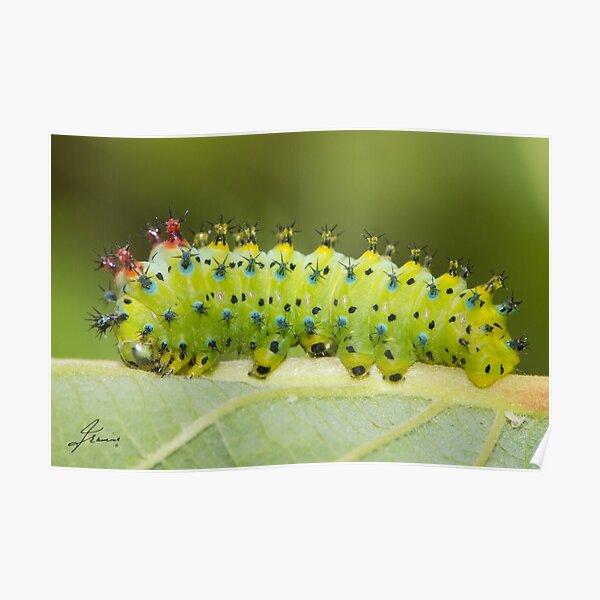 Hyalophora Cecropia Moth Caterpillar  Poster