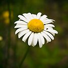 One Ox-Eyed Daisy by georgiaart1974