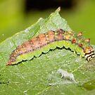 Arched Hooktip Moth Caterpillar by DigitallyStill
