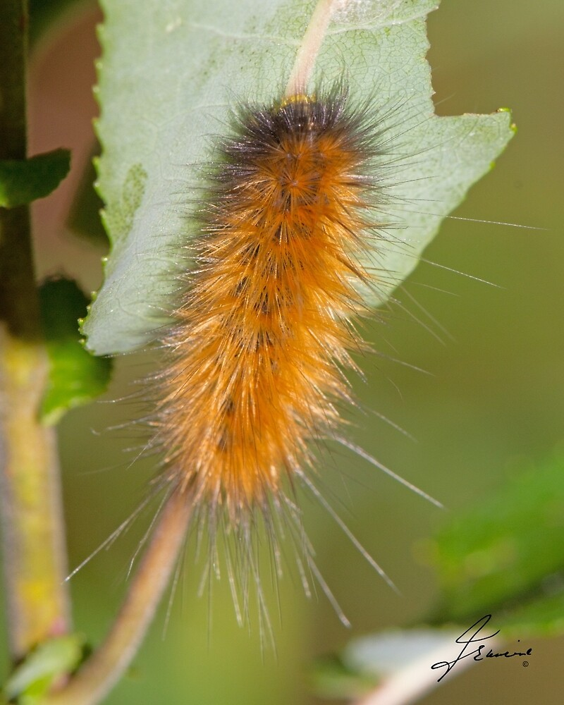 Yellow Bear Caterpillar by DigitallyStill