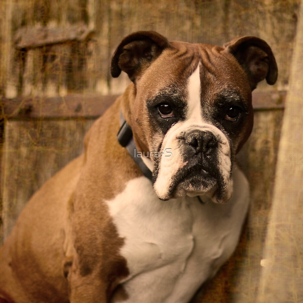 Dog - boxer by laura-S