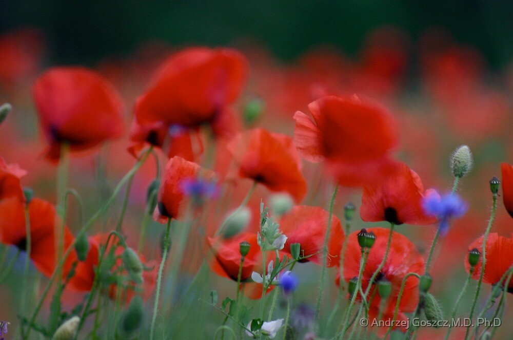 Views 12510. Beautiful dancing poppy flowers.   A mnie jet szkoda lata. Andre Brown Sugar This image Has Been S O L D .  Fav 41 .  Buy what you like! Thx! by © Andrzej Goszcz,M.D. Ph.D