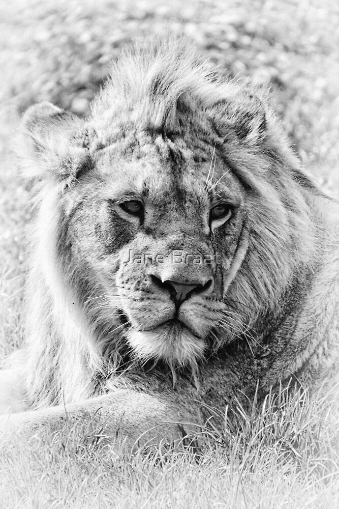 Young Lion by JM Braat Photography