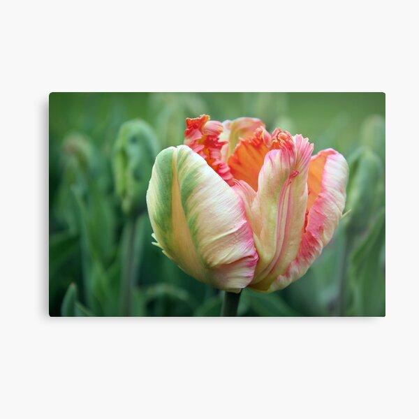 Apricot Parrot Tulip Metal Print