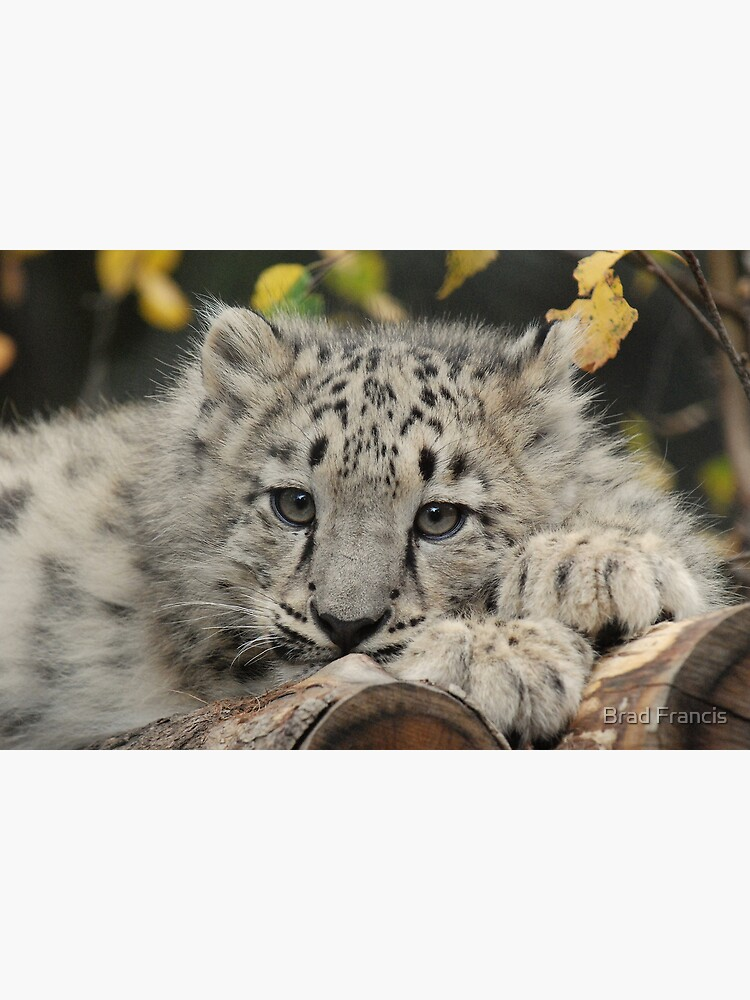 Snow Leopard Cub by bfra