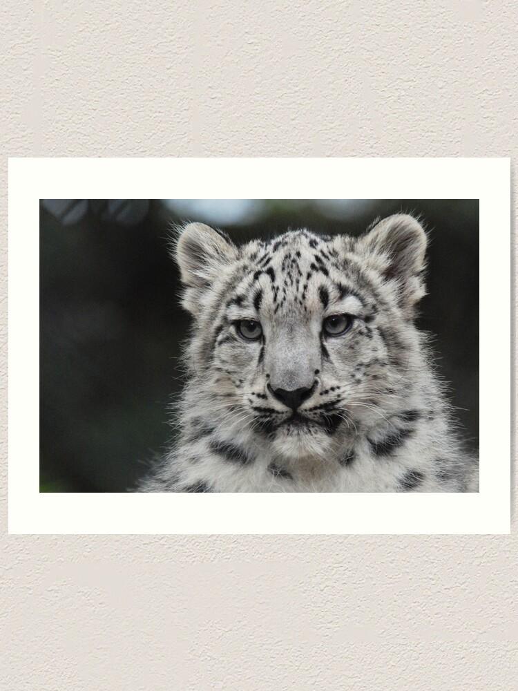 Alternate view of Snow Leopard Cub Art Print