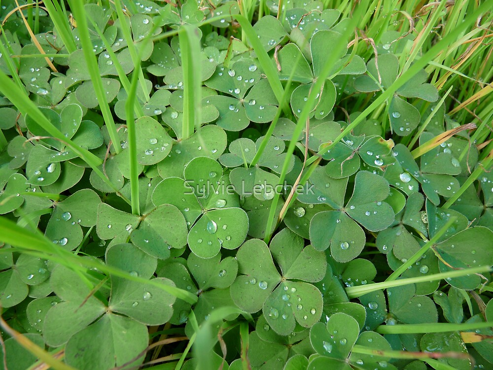 Clovers and raindrops by Sylvie Lebchek
