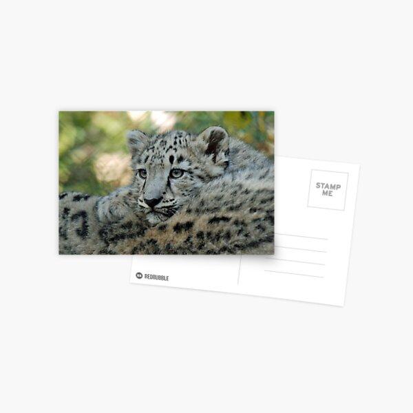 Snow Leopard Cub Postcard