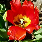 Red Tulip from our garden by Shulie1