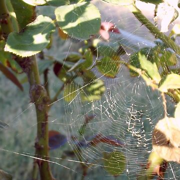 Spiderwebs on Rose Bushes by Hey-Argentina