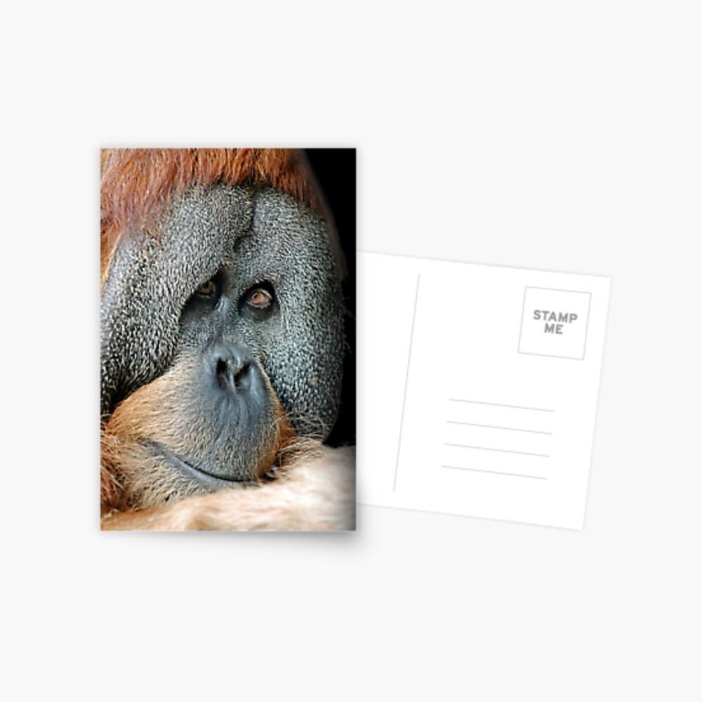 Male Orang-Utan Postcard