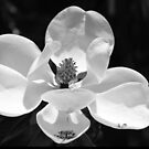 Magnolia In Black And White by Cynthia48