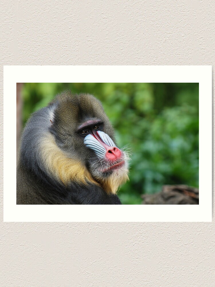 Alternate view of Male Mandrill Art Print