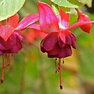 Floating Fuschias by Trish Peach