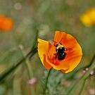 The Bumblebee and the Poppy by Trish Peach