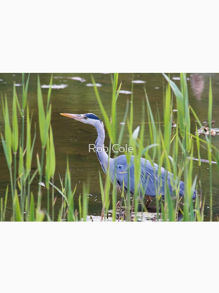 Grey Heron (Ardea cinerea) by robcole