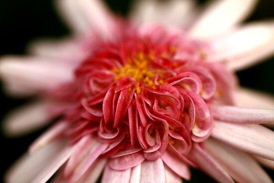 Pink Swirl by Stephen Mitchell