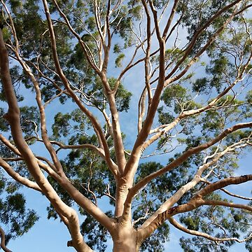 Gumtree with branches and leaves by PLANTONE