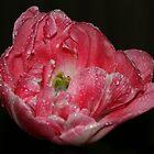 Angelique Tulip in the Rain by AnnDixon