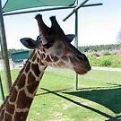 Giraffe by Dan Shiels