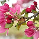 Crabapple Tree  by Rebecca Bryson