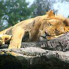 Lion Sleeping by Dan Shiels