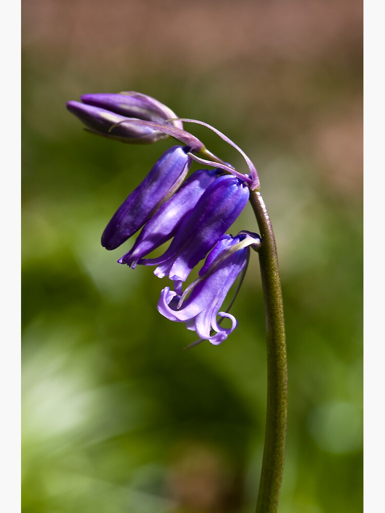 Bluebell (Hyacinthoides non-scripta) by SteveChilton